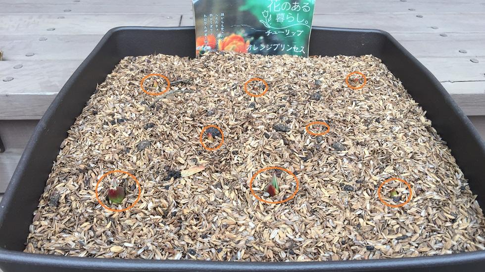 チューリップ「オレンジプリンセス」の球根プランターに植えていたら可愛い芽が出てきました